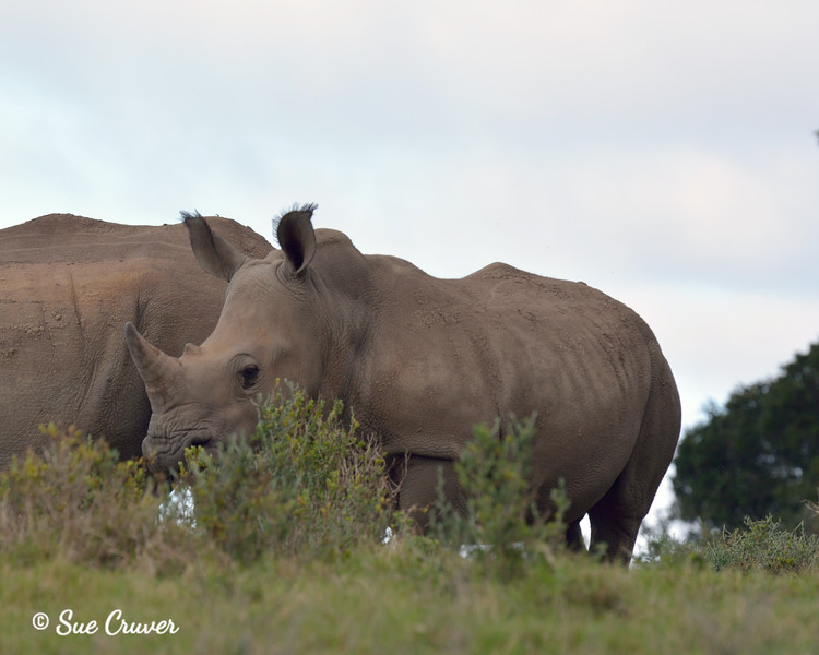 A Rhino With Horn