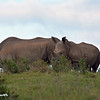 Two Rhinos on a Hill