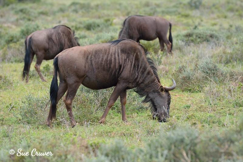 More Grazing Wildebeests