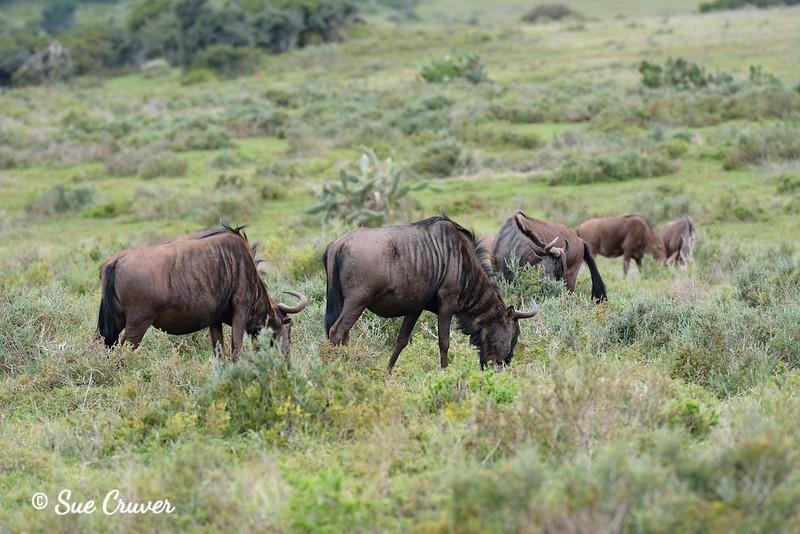 Feeding Wildebeests