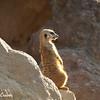 Meerkat Watch 4