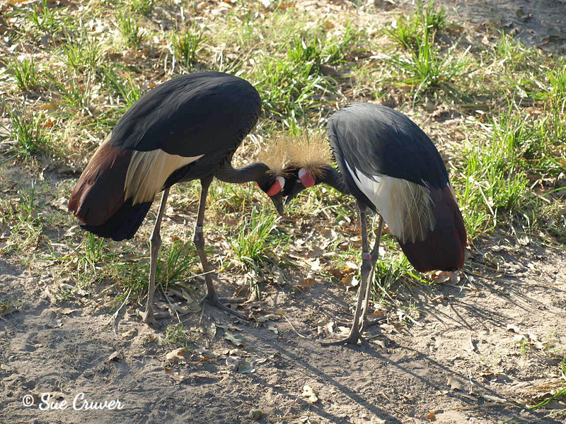 Conferring Cranes
