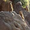 Meerkat Watch 2