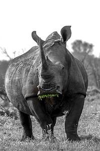 White Rhino. Krugar