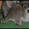 Raccoons:  Little Ann & Peek-a-boo