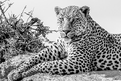 The Leopard Pose. Krugar