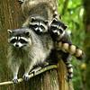 Raccoons:  Sweetheart & Cubs