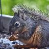 Baby Douglas Squirrel