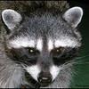 Raccoons:  Sandy