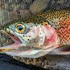 Rainbow Trout—Oncorhynchus mykiss