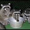 Raccoons:  Little Ann, Peek-a-boo & Bashful