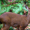 Black-tailed Deer—Fawn