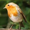 Robin; Bird