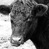b&w black cow  copy