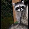 Raccoons:  Peek-a-boo