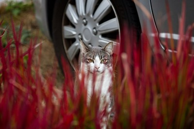 GETTY IMAGES: CAT BEHIND BLOOD GRASS