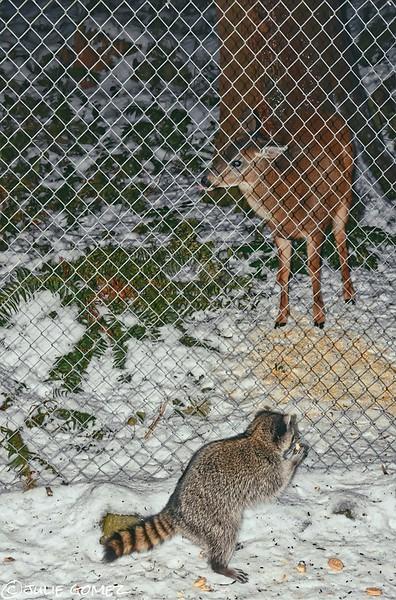 Mule Deer and Raccoon