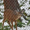 Fawna, the Black-tailed Deer