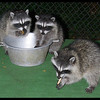 Raccoons:  Bashful, Peek-a-boo and Junior