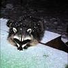 Raccoons:  Elmo