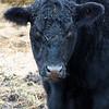 black cow copy