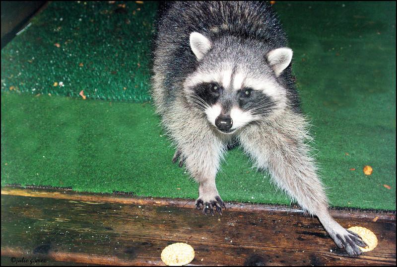 Raccoons:  Zeke