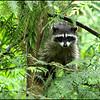 Raccoons:  Sienna