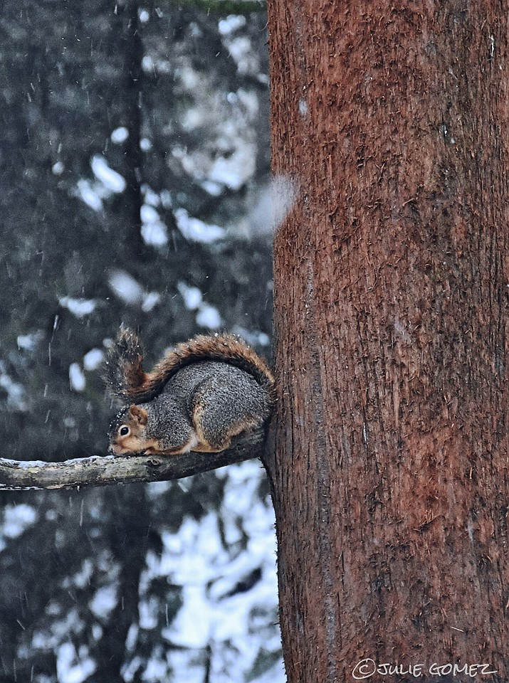 Her Tail for Shelter—Eastern Fox Squirrel (female)