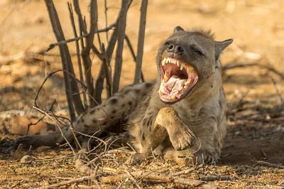 Hyena Smile. Krugar