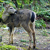 Black-tailed Deer (fawn)
