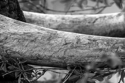 Ivory Character. Krugar