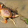 Dungeness Crab ~ Cancer magister