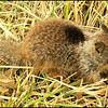 Baby California Ground Squirrel (Spermophilus beecheyi)