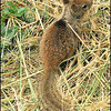 Baby California Ground Squirrel (Spermophilus beecheyi)—Depoe Bay, Oregon Coast.