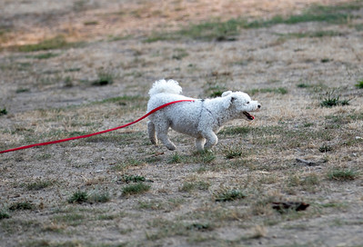 White Dog Red Leash