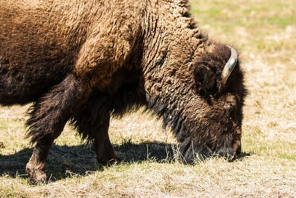 Elk Island National Park - Bison - MAy5, 2013