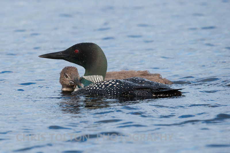 Loon Chick and Protective Mother