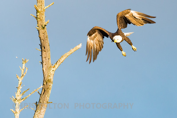 Bald Eagle Taking Off from Dead Tree