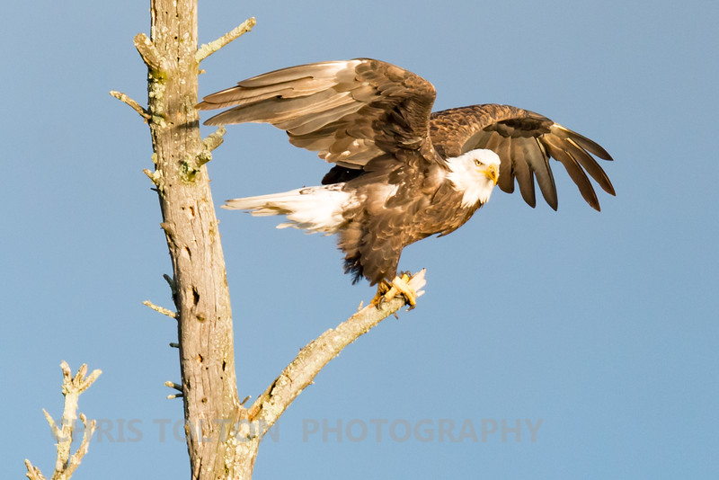 Bald Eagle Preparing to Fly