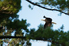 Bald Eagle Gliding Past a Tree