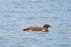 LOON CHICK ALONE
