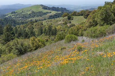 View twd Mindego Hill, poppies in foreground
