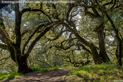 Entwining Limbs (Ancient Oaks Trail)
