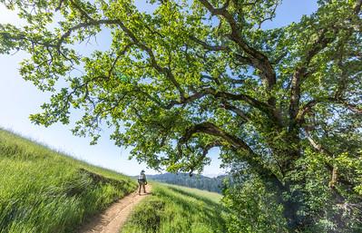 Dee passing big Bella Vista oak (with new leaves)
