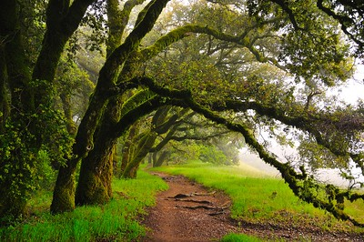 Chow Hong Liu - Misty Morning in the Ancient Oaks - Russian Ridge OSP Category: Plant Life