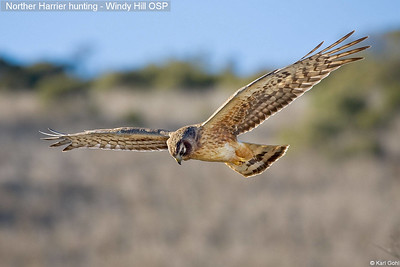 Norther Harrier hunting