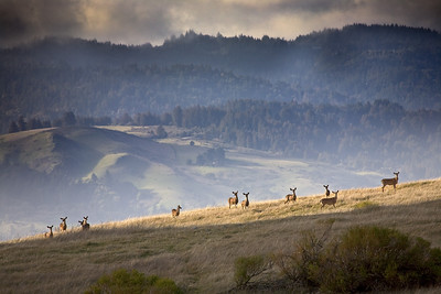 Honorable Mention: Deer on Ridge in Monte Bello (Windy Hill Summit Beyond) by Karl Gohl
