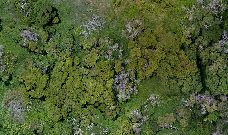 Detail from 4.6 hectare site orthophoto showing areas of Lantana growth