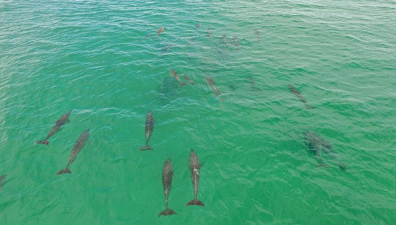 Bottlenose dolphins at Fingal Headl
