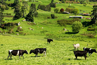 Dairy farming in the Waikato